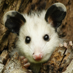 simpossum Avatar