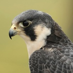Wary Falcon Avatar